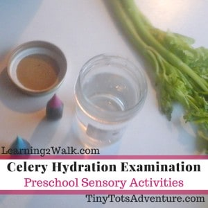 preschool sensory activities- celery hydration examination